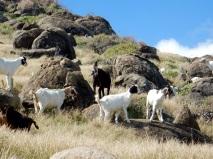 Goats, Saint-Martin