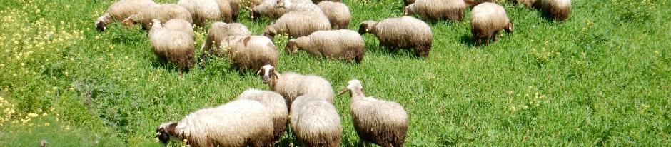 Sheep near Sazliköy