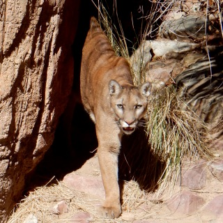 Mountain lion, Arizona-Sonora Desert Museum, Tucson