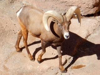Desert bighorn, Desert Museum AZ
