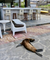 Sea lions, Galápagos