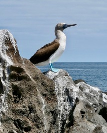 Blue-footed booby, Galápagos