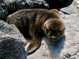 Sea lion, Galápagos