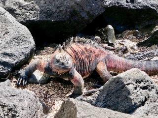 Marine iguana, Galápagos