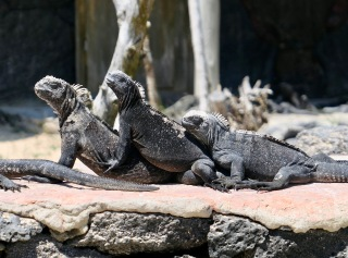 Marine iguanas, Galápagos