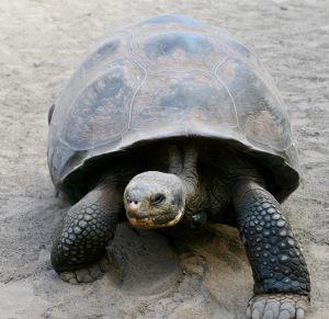 Giant Tortoise, Galápagos