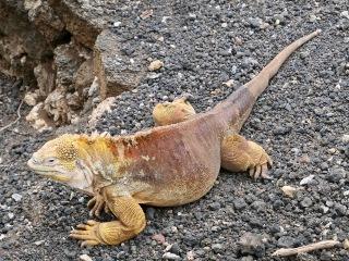 Yellow iguana, Galápagos