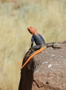 Namib Rock Agama, Namibia