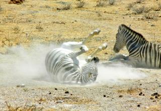 Zebras, Etosha National Park, Namibia