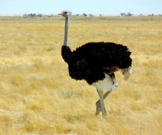Ostrich, Etosha National Park, Namibia