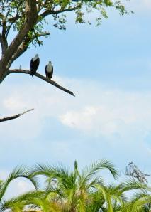 Fish eagles, Okavango Delta, Botswana