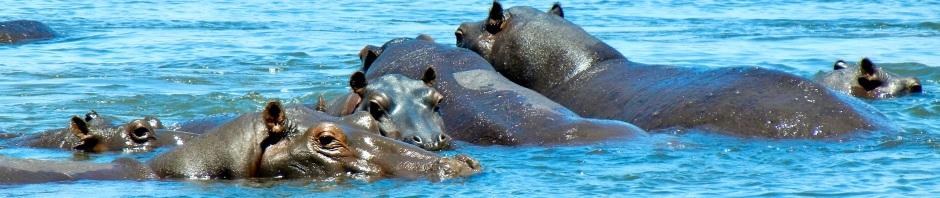 Hippos, Kavango River, Namibia