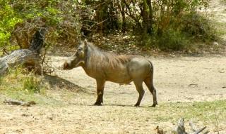 Warthog, Mahango Game Reserve, Namibia