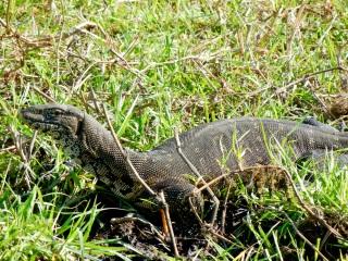 Monitor Lizard, Chobe National Park, Botswana